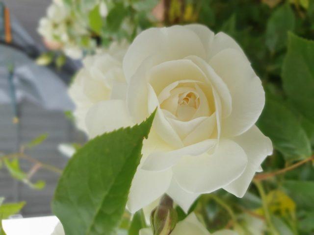 George M rose
