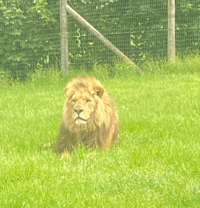 Peony Lion